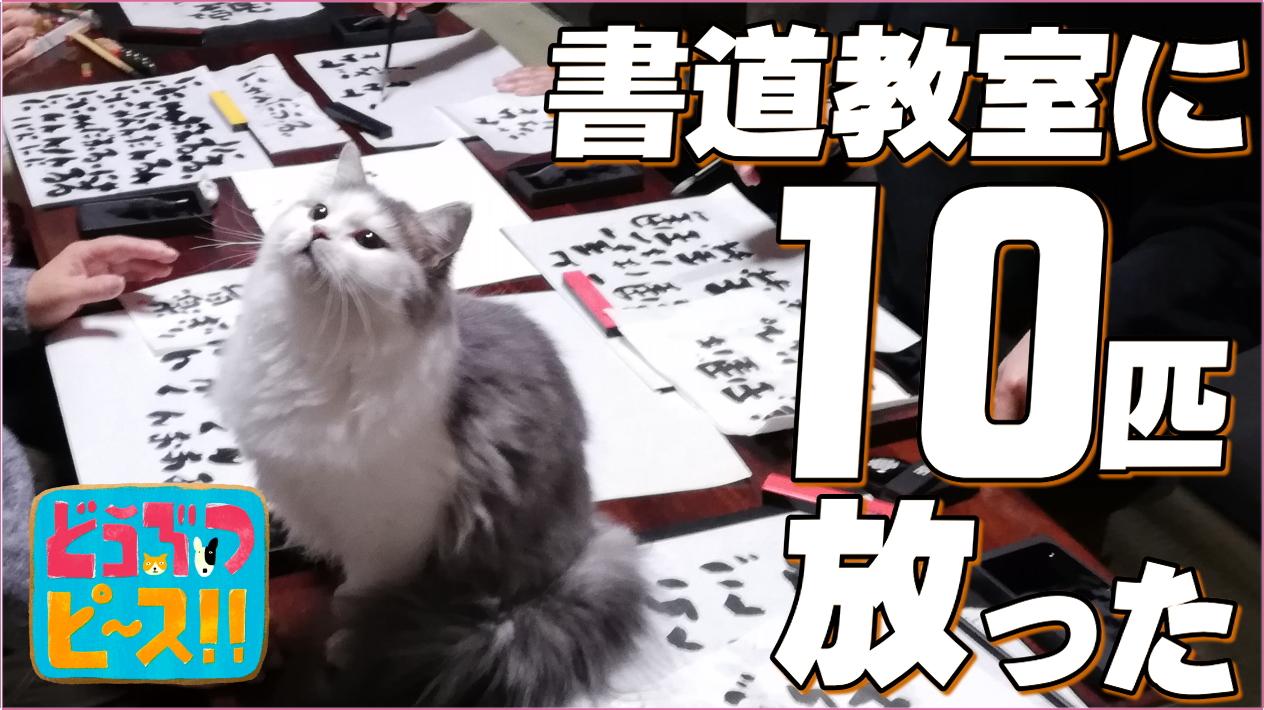 2/20放送 テレ東「どうぶつピース」書道教室に猫10匹放ってみた【撮影協力】